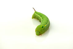 绿色毛虫 图库摄影