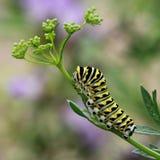 黑色毛虫swallowtail 图库摄影