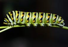 黑色毛虫swallowtail 免版税图库摄影