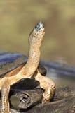 黑色河乌龟 免版税库存照片