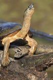 黑色河乌龟 图库摄影