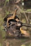 黑色河乌龟 免版税库存图片