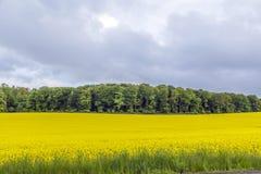 黄色油菜子领域在与太阳的蓝天下 免版税库存图片
