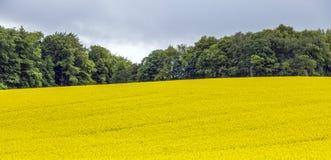 黄色油菜子领域在与太阳的蓝天下 免版税库存照片