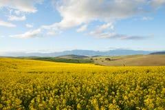 黄色油菜的领域开花俯视在南部A的一个谷 免版税库存照片