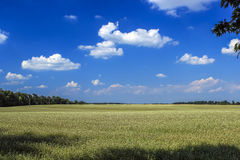 黄色油菜籽在与蓝天的领域开花 免版税库存照片
