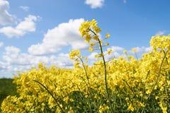 黄色油菜籽开花在一朵蓝天和白色云彩下 免版税库存照片