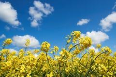 黄色油菜籽开花在一朵蓝天和白色云彩下 库存图片