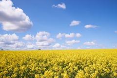 黄色油菜籽领域在一朵蓝天和白色云彩下 库存照片
