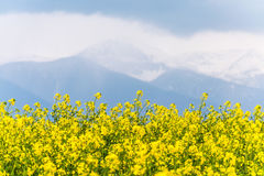 黄色油菜籽领域在有一座多云山的国家在t 免版税库存图片
