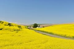 黄色油菜花和农舍在Palouse 免版税库存照片