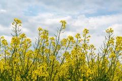 黄色油菜细节  免版税库存图片