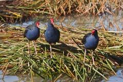 紫色沼泽母鸡 库存图片