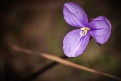 紫色沼泽花 库存图片