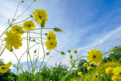 黄色波斯菊在flawer领域和蓝天开花早晨 免版税库存照片