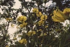 黄色波斯菊在flawer领域和阳光开花早晨 免版税库存照片