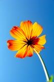 黄色波斯菊开花有浅兰的背景,软的焦点,葡萄酒过滤器,自然概念,自然背景 库存图片