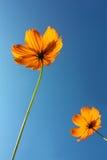 黄色波斯菊开花有浅兰的背景,软的焦点,葡萄酒过滤器,自然概念,自然背景 免版税库存照片