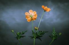 黄色波斯菊花在多云天空下 图库摄影