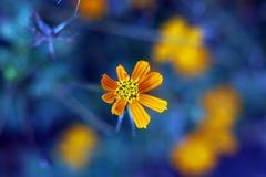 黄色波斯菊花有蓝色背景 库存照片