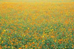 黄色波斯菊领域 库存图片