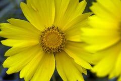 黄色波斯菊,一朵美丽的amarican花大特写镜头  库存图片