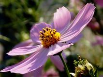 紫色波斯菊 免版税图库摄影