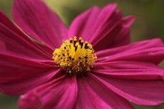 紫色波斯菊 免版税库存图片