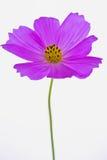 紫色波斯菊bipinnatus 免版税库存照片
