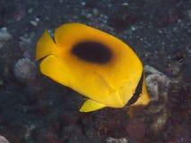 黄色泪珠蝴蝶鱼 库存图片