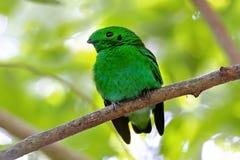 绿色泰国的Broadbill Calyptomena viridis公逗人喜爱的鸟 免版税库存图片