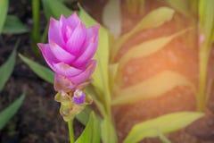 紫色泰国郁金香领域在公园 免版税库存图片
