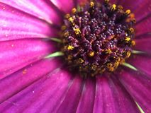 紫色浆果 免版税库存图片