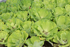 绿色浮动水莴苣,半新废水处理 库存照片