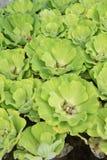 绿色浮动水莴苣,半新废水处理 免版税库存照片
