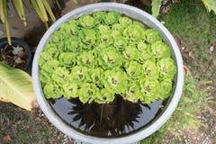 绿色浮动水莴苣,半新废水处理 库存图片