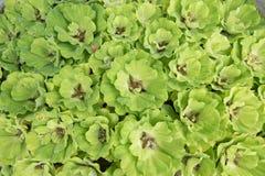 绿色浮动水莴苣,半新废水处理 图库摄影