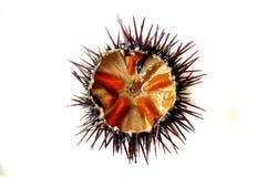 紫色海胆 免版税库存照片