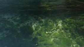 绿色海草看起来象细丝或湿头发 股票录像