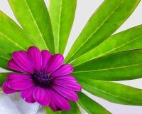 紫色海角延命菊花 库存图片