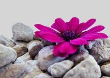 紫色海角延命菊花 免版税库存图片