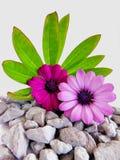 紫色海角延命菊花 库存照片
