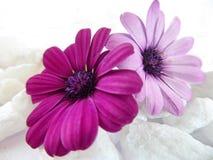 紫色海角延命菊雏菊花的构成 库存图片