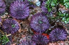 紫色海顽童 免版税库存照片