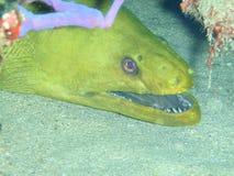 绿色海鳝 库存图片
