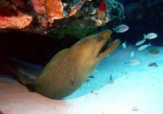 绿色海鳝 免版税库存照片