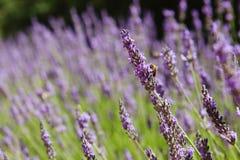 紫色淡紫色开花,在夏天淡紫色领域的日落 Bu 免版税库存图片