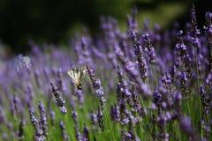 紫色淡紫色开花,在夏天淡紫色领域的日落 Bu 库存图片