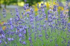 紫色淡紫色花在庭院里 库存照片