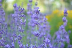 紫色淡紫色花在庭院里 免版税库存图片